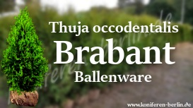 Thuja occidentalis Brabant Ballenware