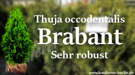 Thuja occidentalis Brabant Sehr robust