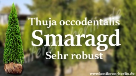 Thuja occidentalis Smaragd Sehr robust